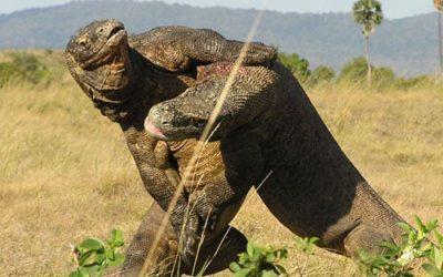 INDONESIA: Flores e Komodo